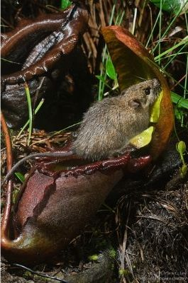 """<a title=""""Ch'ien Lee / CC BY (https://creativecommons.org/licenses/by/2.5)"""" href=""""https://commons.wikimedia.org/wiki/File:Rattus_baluensis_visiting_Nepenthes_rajah.png""""><img loading="""