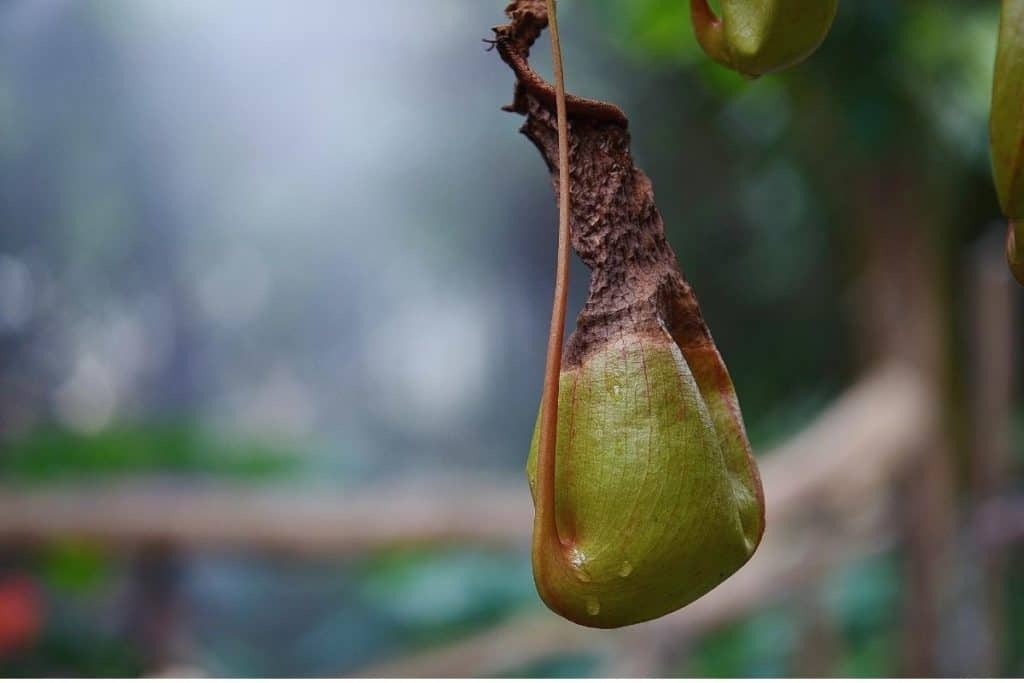 Dried out pitcher plant