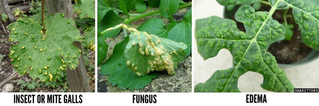 Insect or mite galls, fungus or edema