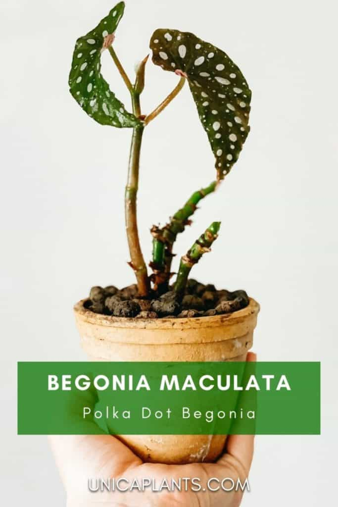 Begonia maculata plant with pot