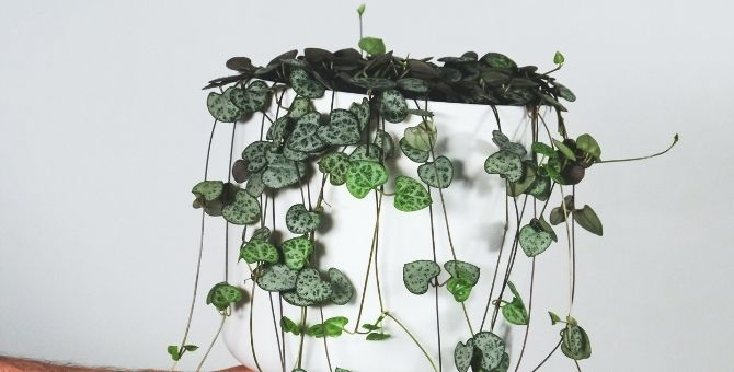 String of hearts (Ceropegia woodii)