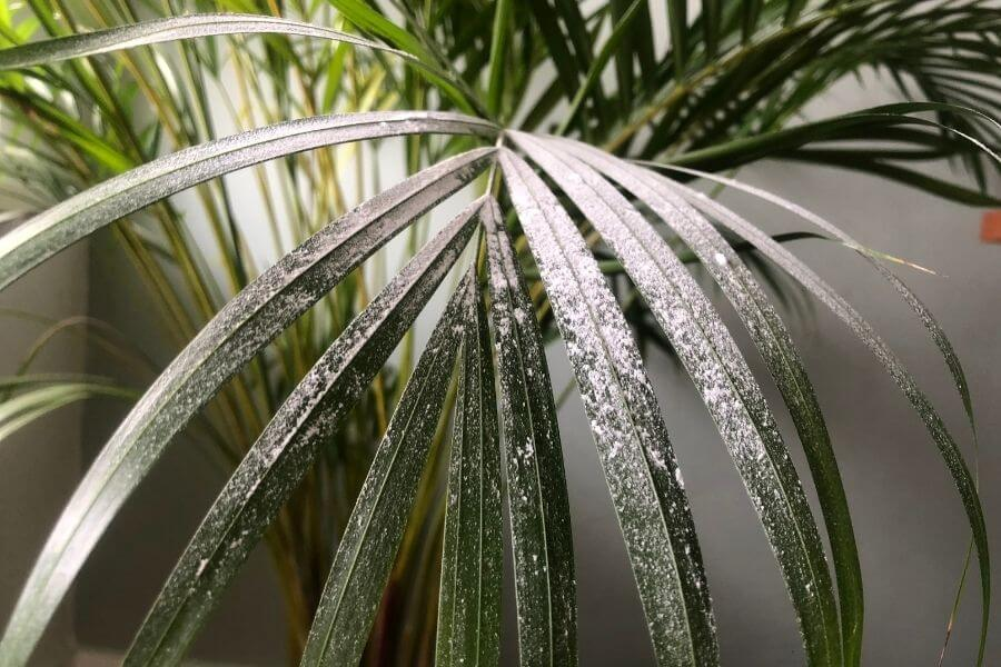 diatomaceous earth on palm